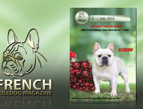 Our Alfredo on Cover of French Bulldog Magazine